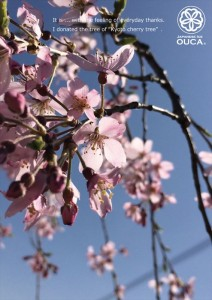 2015.3.29種子島の安納芋農家様に京都祇園枝垂れ桜を寄贈03