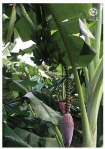 2016.7.26種子島の島バナナ、大きな青空と共に感謝05