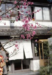 2017.4.15嵯峨野湯の春「菊桃の木」03