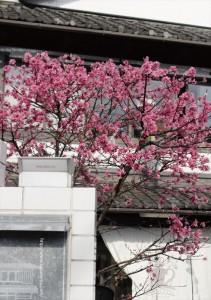 2017.4.15嵯峨野湯の春「菊桃の木」05