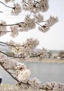 2018.3.30嵐山カフェ嵯峨野湯(2018春、桜の表情)55