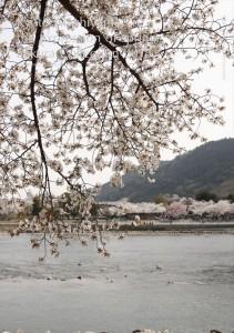 2018.3.30嵐山カフェ嵯峨野湯(2018春、桜の表情)77